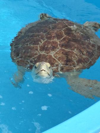 Juno Beach, FL: Rehabbing loggerhead