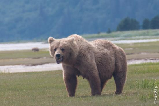 Alaska Bear Adventures - Day Tours: Mother Bear giving a warning