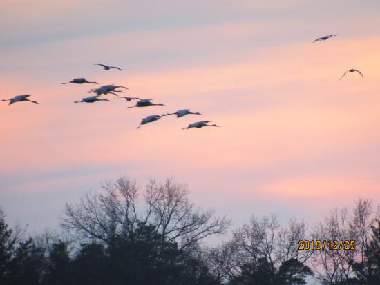 Jasper-Pulaski Fish and Wildlife Area: Flocks arriving at wildlife refuge near sunset