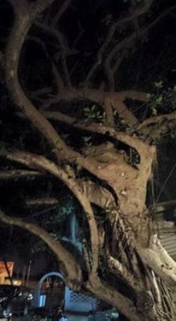 Sea Club Espadon: Un arbre magnifique à l'entrée