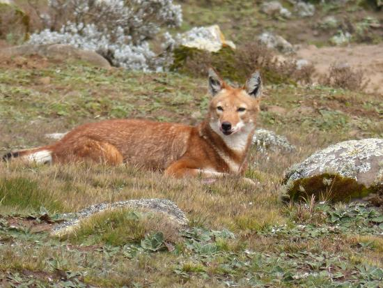 Wabe Shebelle Goba: Ethiopian Wolf seen in the Bale Mountains nearby