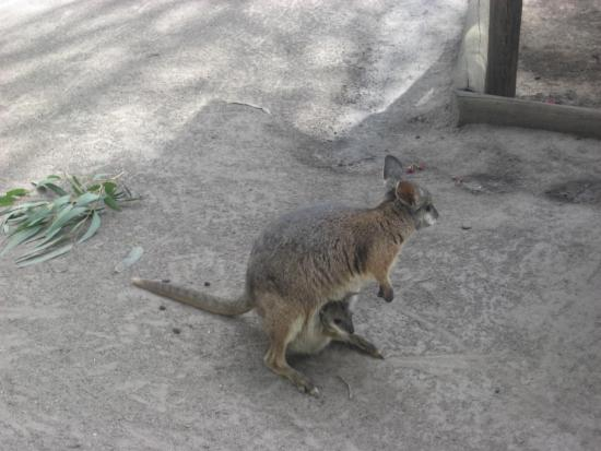 The Penguin and the Wallaby
