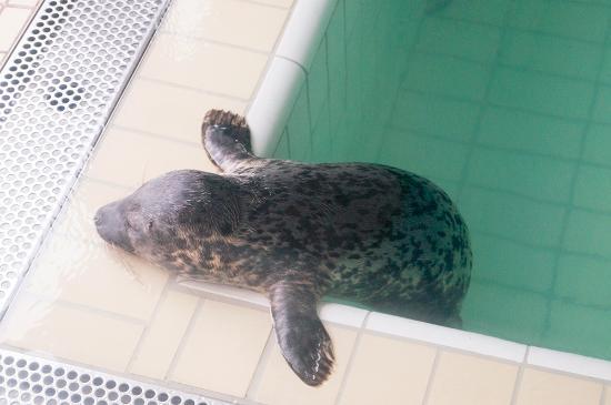 Pieterburen, Holland: Seehund am Beckenrand