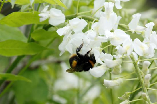Duffy's Country Accommodation: Local Bumble Bee