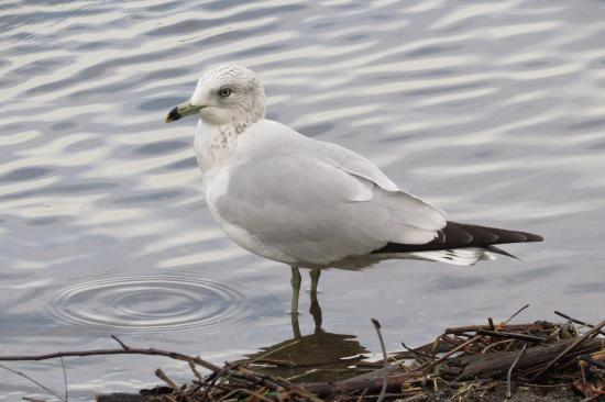 Wrightsville, Pennsylvanie : Ring-billed gulls are a common site along the shoreline and on the water.