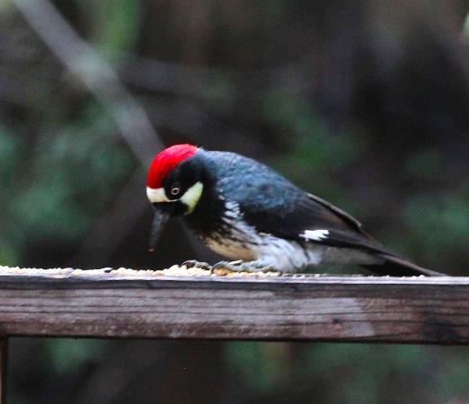 Cazadero, Kalifornia: Acorn Woodpecker