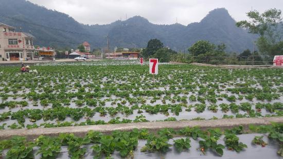 Chun Hsiang Strawberry Farm : 20151215_100014_002_large.jpg