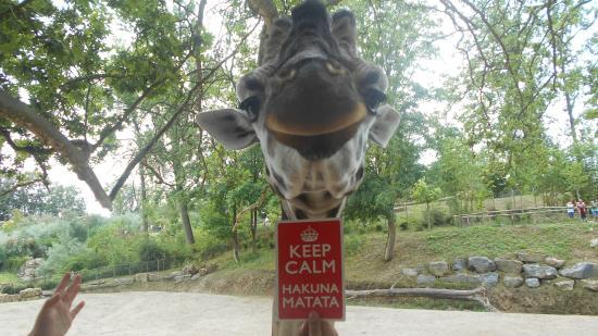 Geraardsbergen, Belçika: Giraffe Hakuna Matata