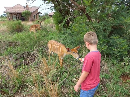 Sondela Nature Reserve Accommodation: Feeding Nyala
