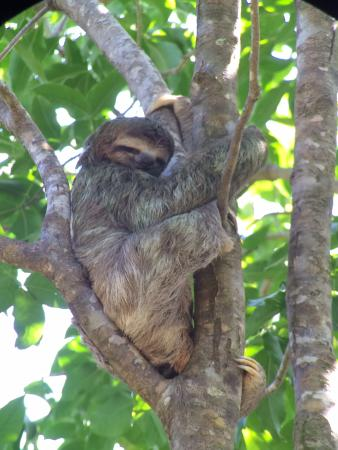 A Sloth At Manuel Antonio National Park Picture Of Tulemar