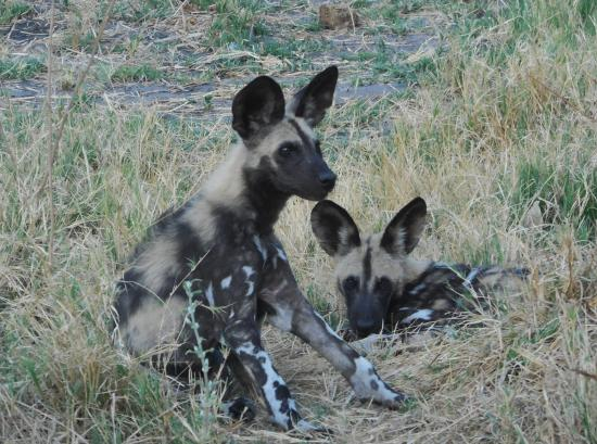 Savute Safari Lodge: Wild dog pups