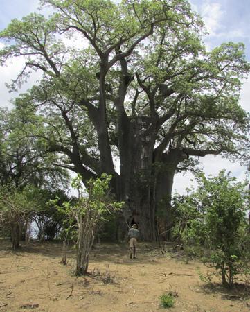 Chiredzi, ซิมบับเว: Enormous and ancient baobab tree near Chilo