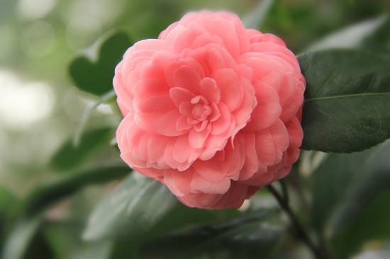 Jinhuacha Park: camellias