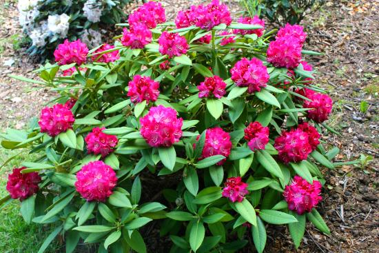 Niva, Dänemark: The beautiful and colorful Rhododendron