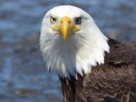 Anchor Point, AK: Bald eagle
