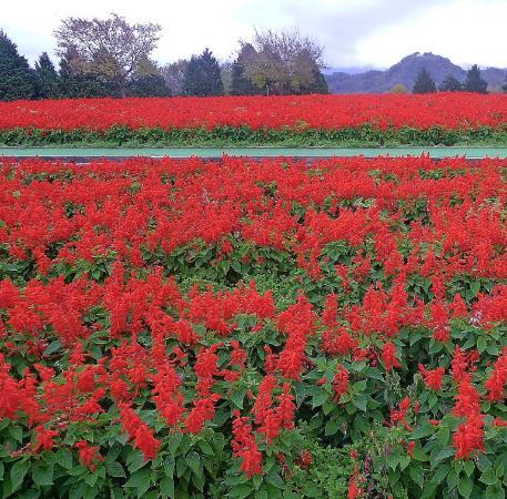 南部町, 鳥取県, サルビアの花畑