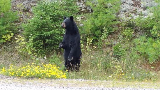 Killarney Provincial Park: Bear