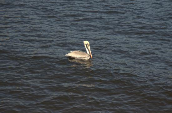 Jupiter, Flórida: pelican