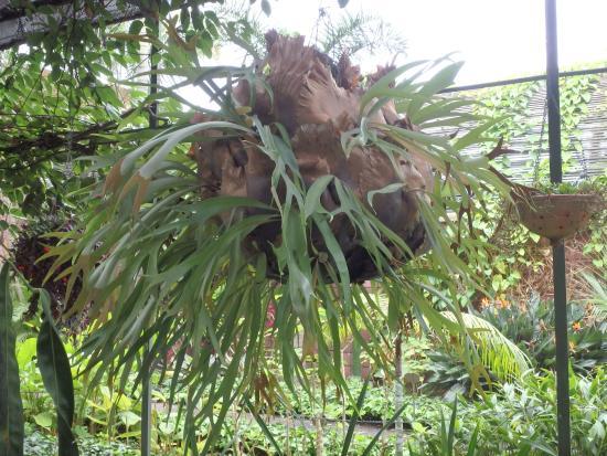 Giant ficus tree - Picture of Botanical Gardens (Jardin Botanico), Puerto de ...
