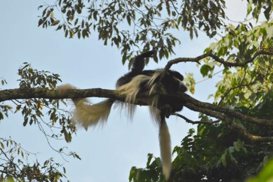 Arusha National Park: Colobus