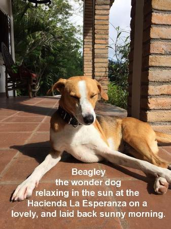Hacienda la Esperanza: Beagley the Hacienda dog
