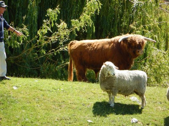Queenstown, New Zealand: Highland Cattle