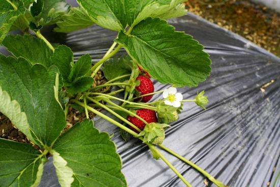 Chun Hsiang Strawberry Farm Image