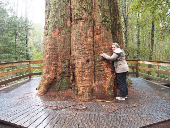 Deloraine, Avustralya: The Big Tree!