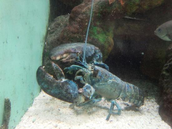 Teradomari Aquarium: でかい!ロブスター