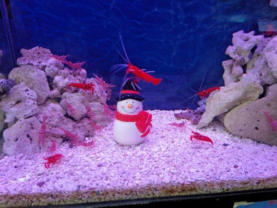 Teradomari Aquarium: サンタのようなエビ