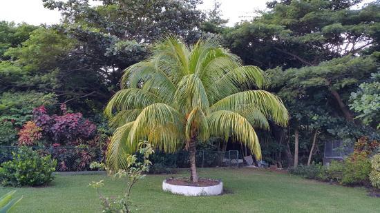 Blue Skies Apartments: Dimunitive Coconut Tree