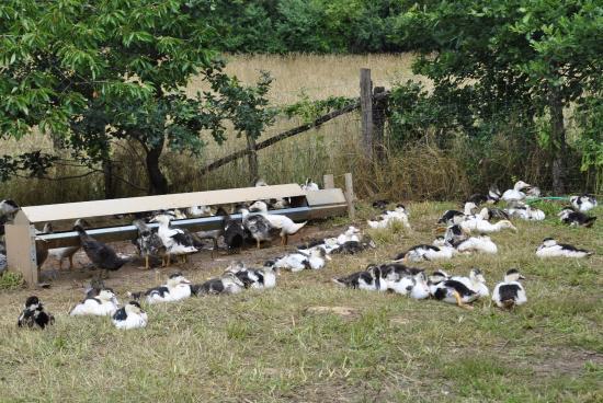 Saint-Martial-de-Nabirat, Frankrijk: Canards en liberté de l'élevage du Terroir de Lol.