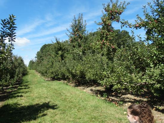 Cider Hill Farm: apple picking