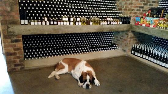Franschhoek, Sudáfrica: Sasha guarding the cellar