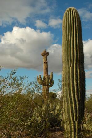 Tohono Chul Park: Saguaro Cactus