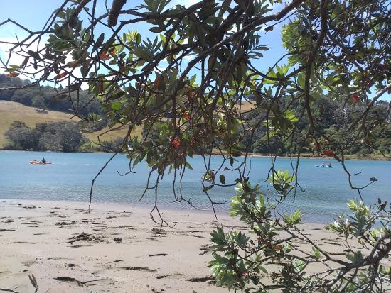 Wenderholm Regional Park: pohutukawa tree along the beach