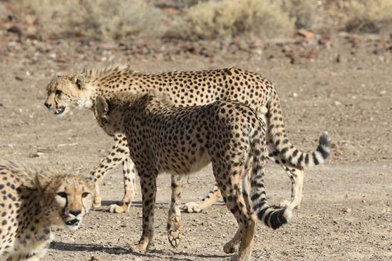 Khomas Region, Namibia: Cheetah feeding
