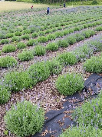 Niles, MI: At least 4 varieties of lavender grown here.
