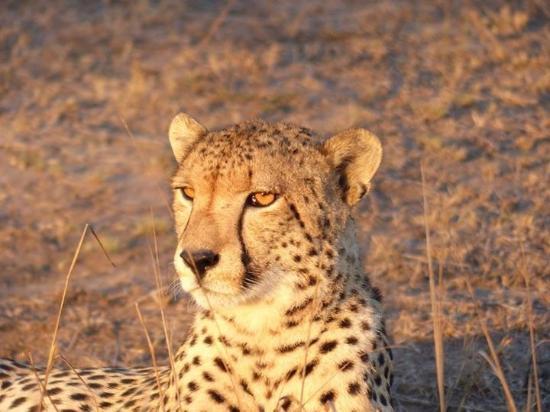 Phinda Private Game Reserve, Sydafrika: Phinda cheetah