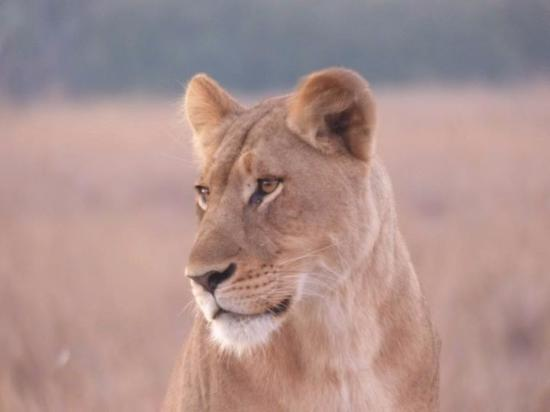 Phinda Private Game Reserve, Sydafrika: Lioness