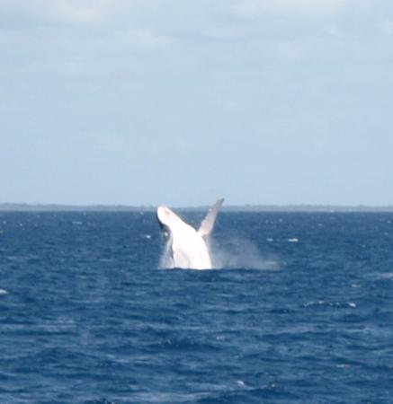 Freedom Whale Watch: Whale breaching