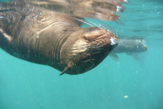 Snorkling With Seals