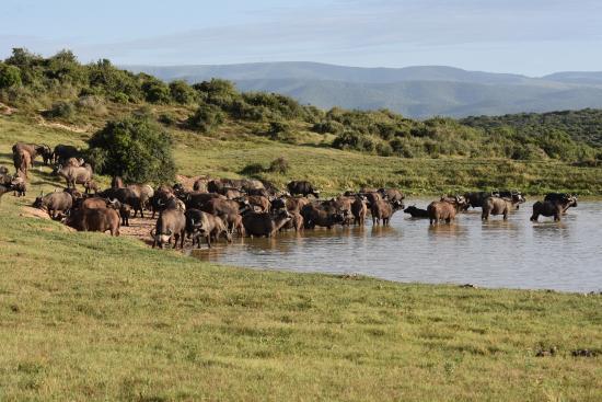 Addo Rest Camp: Büffelherde