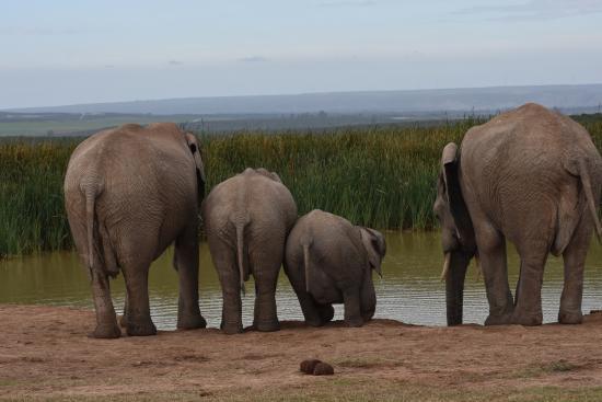 Addo Rest Camp: Elefantensichtung