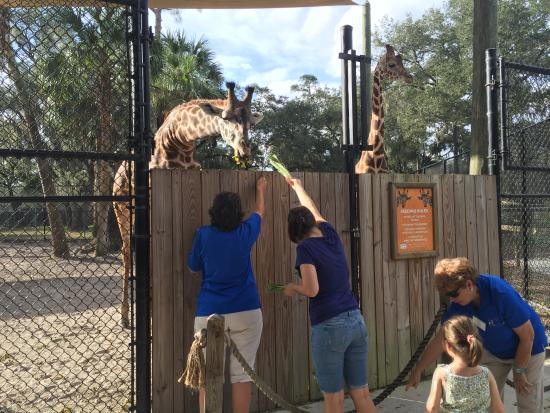 Feed The Giraffes Picture Of Central Florida Zoo Botanical Gardens Sanford Tripadvisor