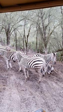 Safari West: The story behind why the zebras were standing in this position was captivating