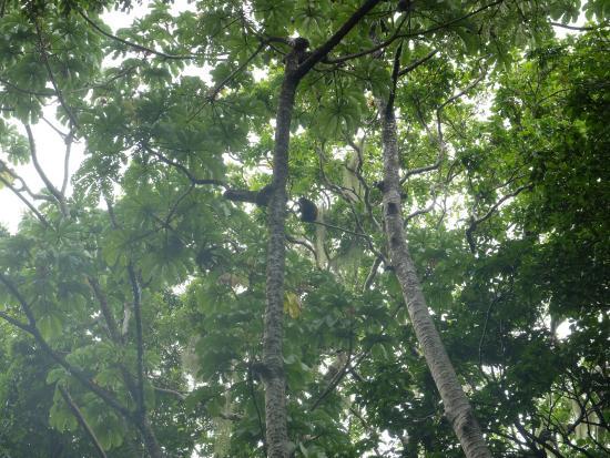 San Ramon, Nicaragua: Howler monkeys