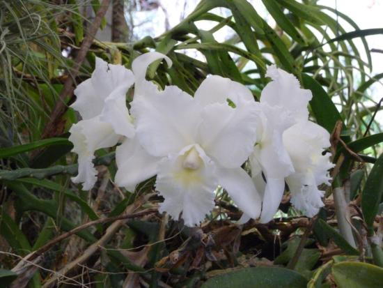 Pregetter's Orchid Garden: WITTE CATHLEYA