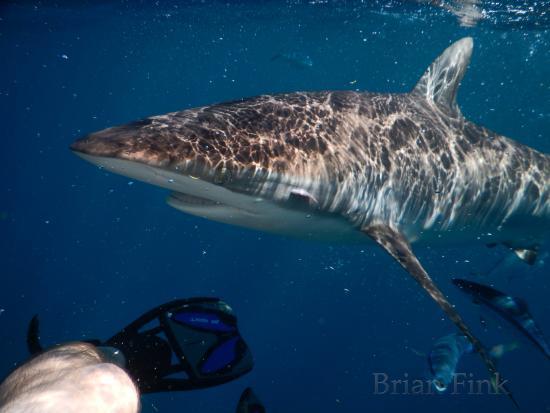 Jupiter, FL: Silky Shark getting up-close