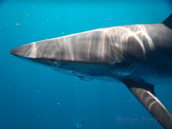 Jupiter, FL: Face to face with Silky Shark